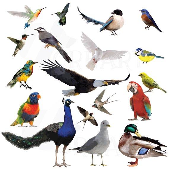 Birds clipart vector. Watercolor pack vectors for