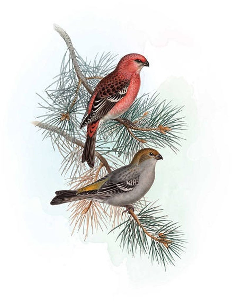 Winter printable pine branch. Birds clipart vintage