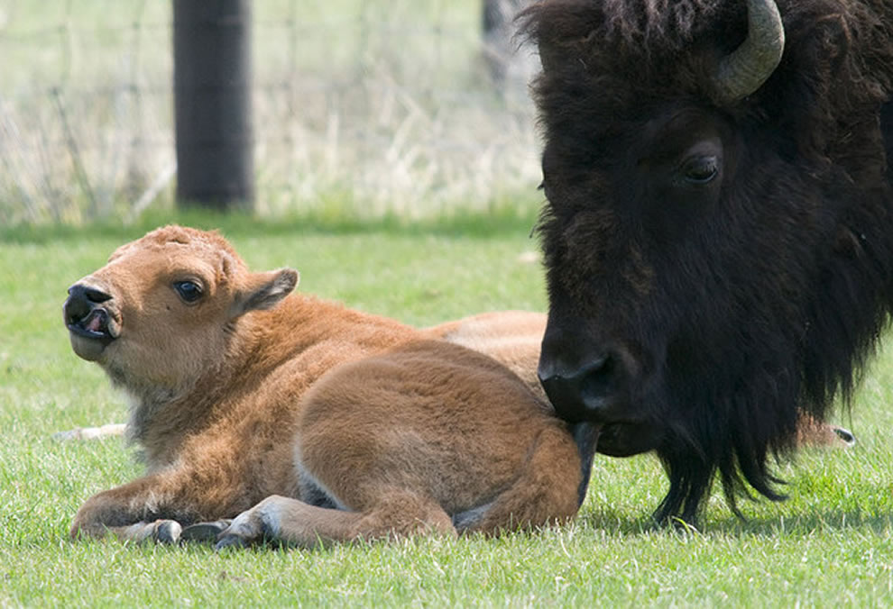 Bison clipart baby bison. American buffalo traffic jams