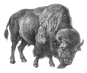 Bison clipart black and white. Gallery for buffalo clip