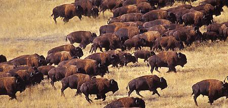 Bison clipart buffalo herd. Of