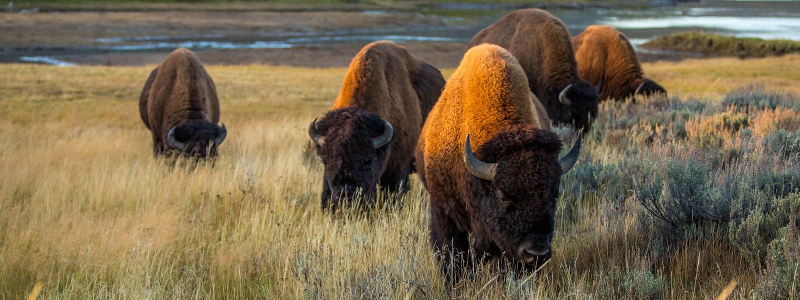 Plains species wwf from. Bison clipart buffalo herd