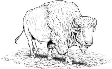 Click to see printable. Bison clipart coloring page