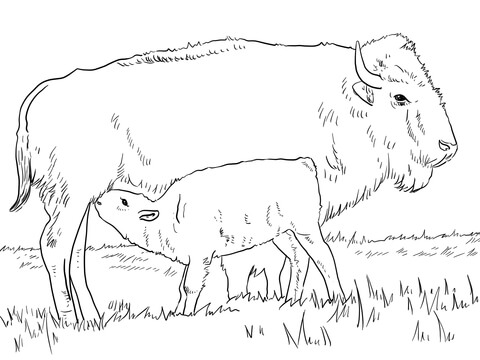 Bison clipart coloring page. American with calve free