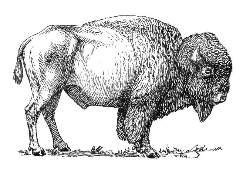 Bison clipart drawing. Download american clip art