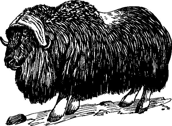 Musk ox clip art. Bison clipart muskox