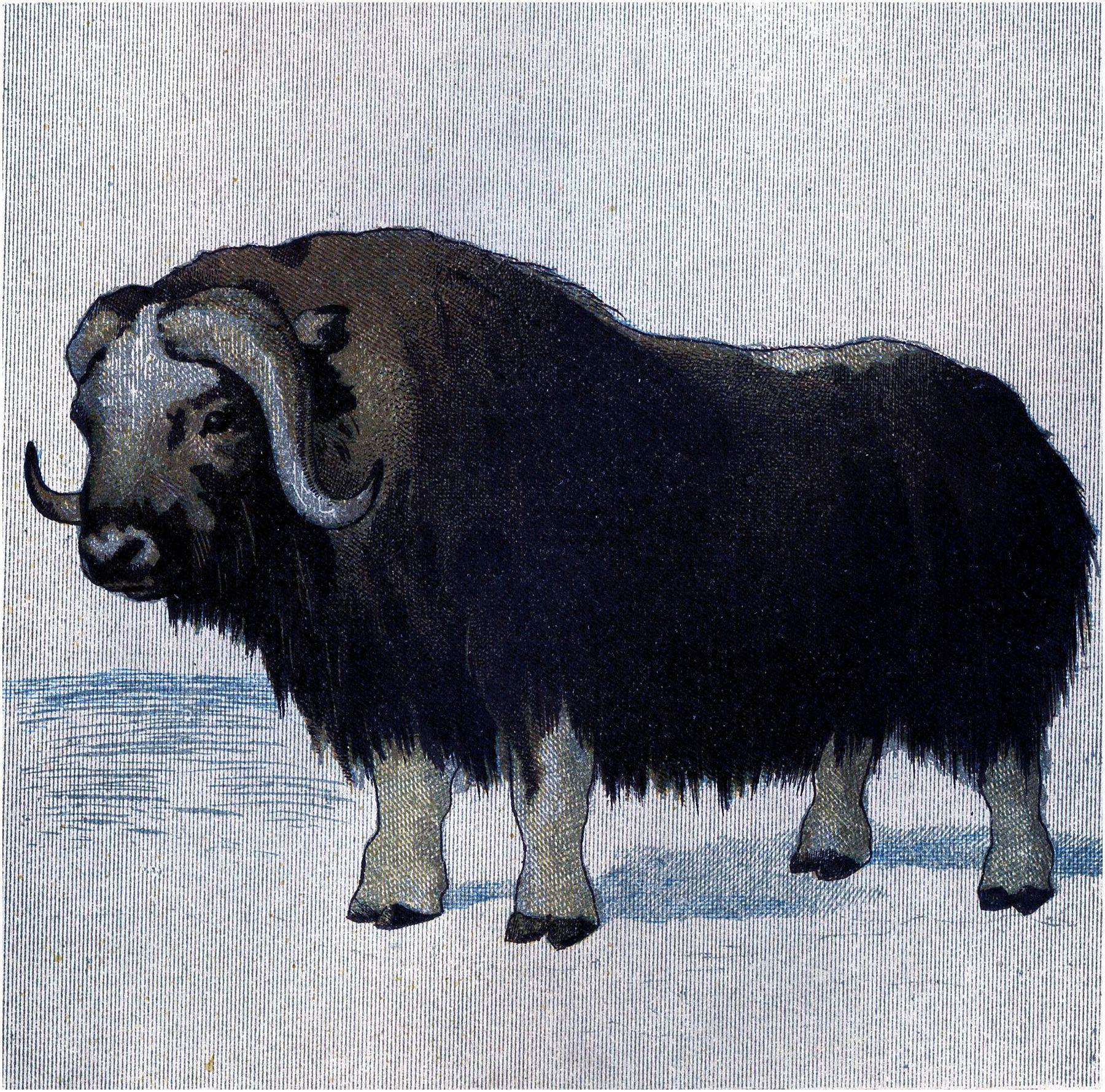 Bison clipart muskox. Vintage musk ox image