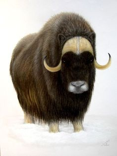 Musk ox images for. Bison clipart muskox
