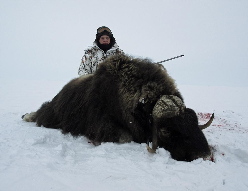 Bison clipart muskox. Musk ox hunting nunavut