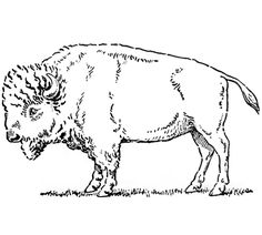 Bison clipart sketches.  best buffalo and