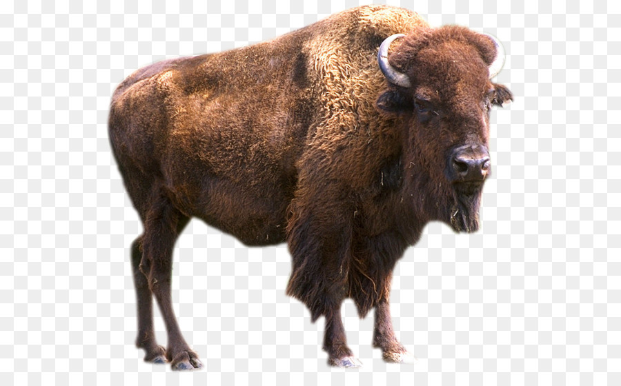 Bison clipart transparent. Background european plains