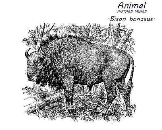 Bison clipart vintage. Clip art stock image