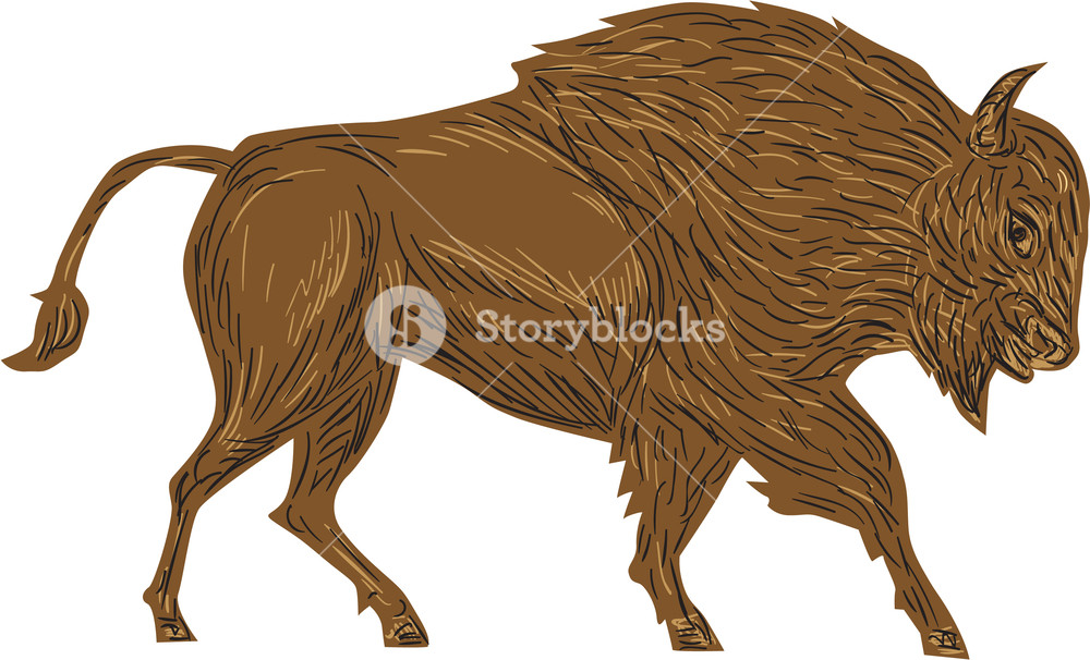 Illustration of a north. Bison clipart white background