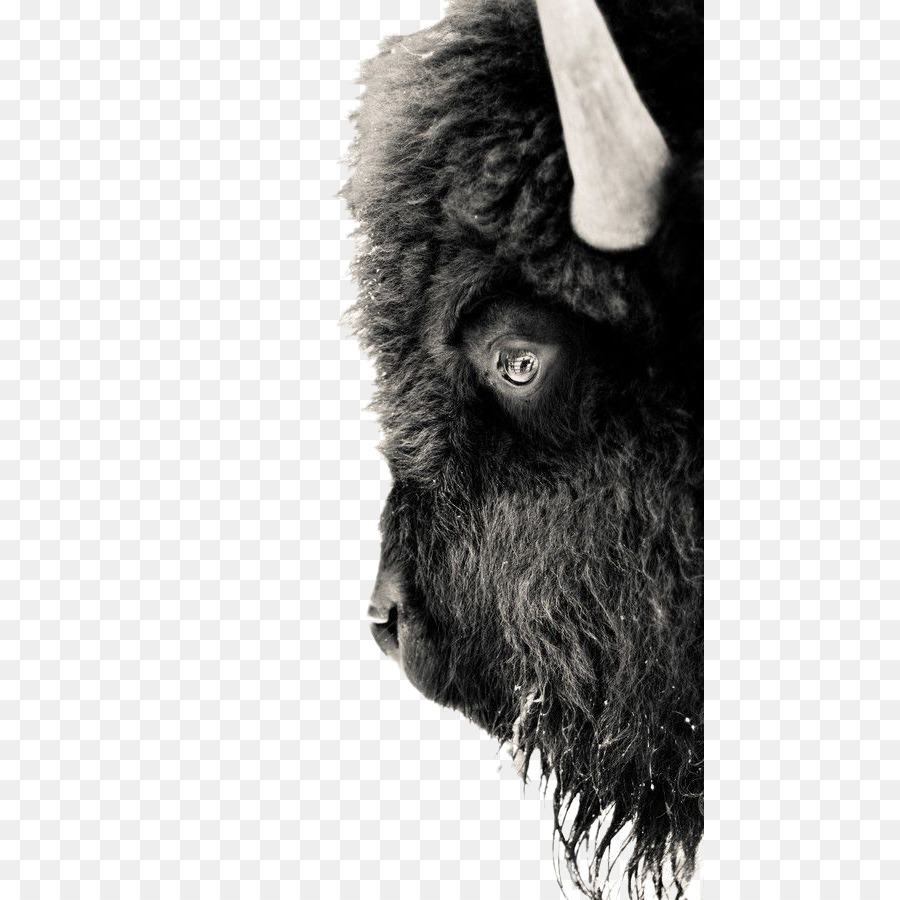 Yellowstone national park american. Bison clipart white background