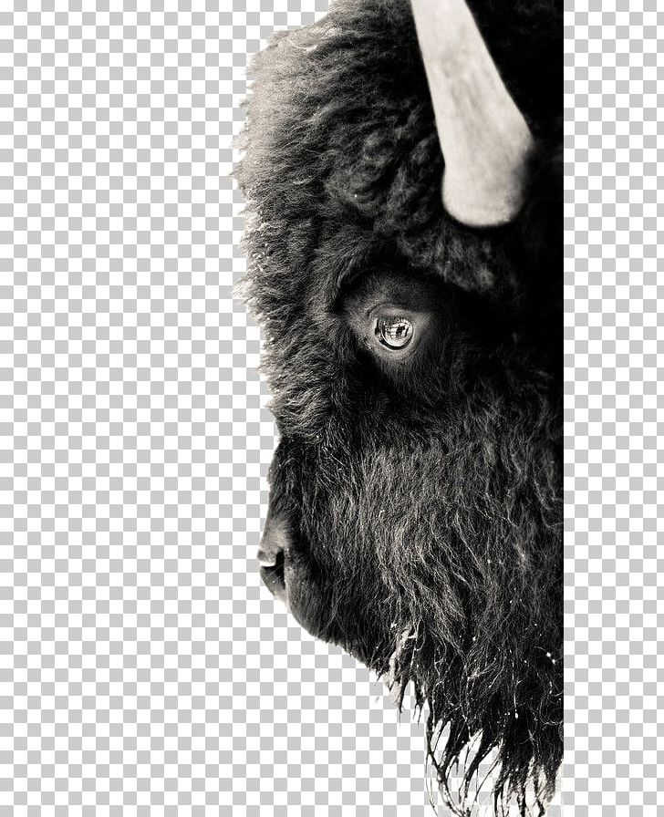 Bison clipart white background. Yellowstone national park american