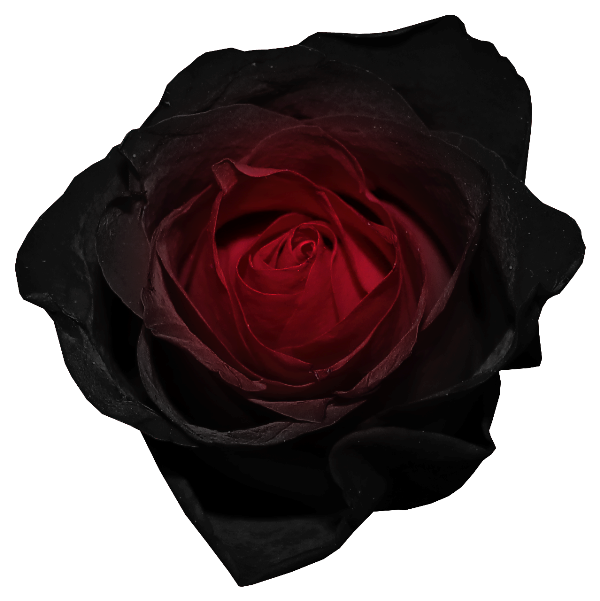 Black flower png. Red and rose picture