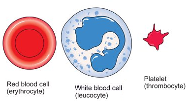 Cells structure and functions. Blood clipart blood cell