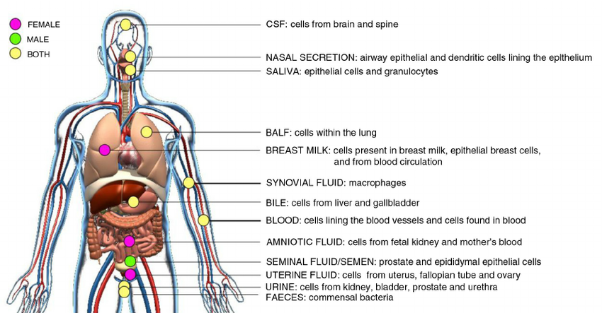 Schematic of in vivo. Blood clipart bodily fluid