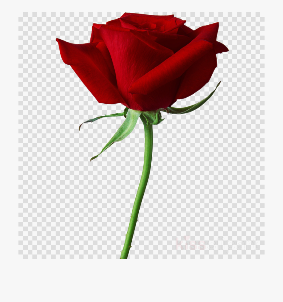 Black rose true blood. Clipart roses vector