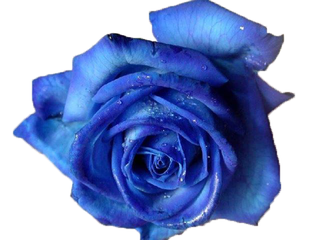 Rose by vixen on. Blue flower png
