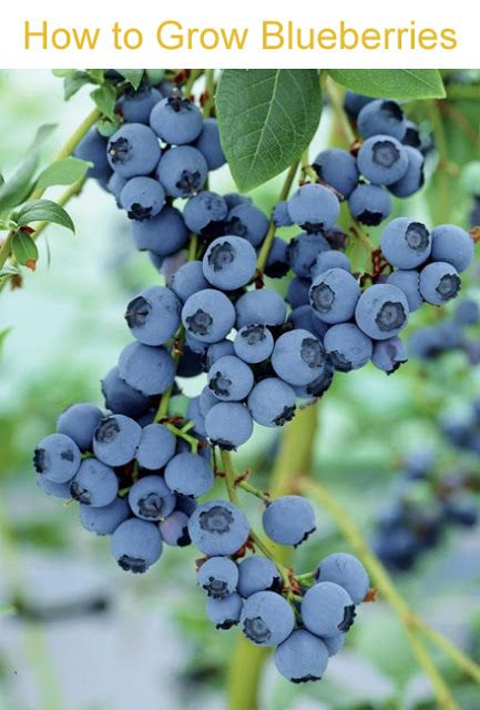 Blueberries clipart blueberry bush.  best images on