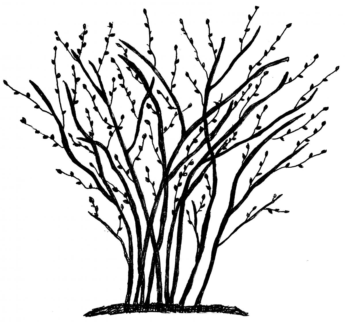 Blueberries clipart blueberry bush. Pruning bushes in the