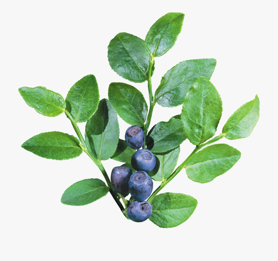 Blueberries clipart blueberry bush. Shrub transparent