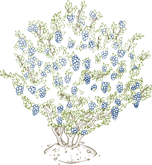 Growing at home u. Blueberries clipart blueberry bush