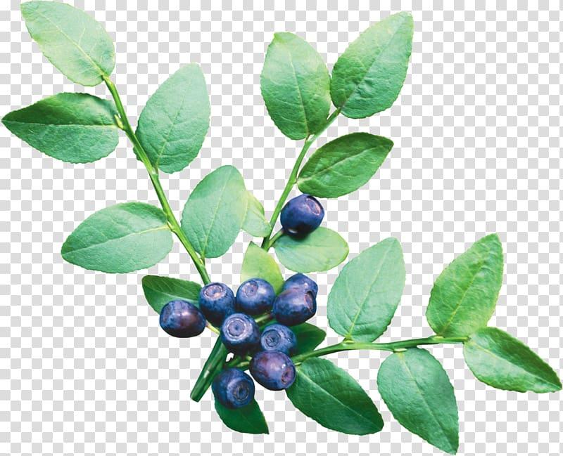 Blueberries clipart blueberry plant. European vaccinium corymbosum fruit