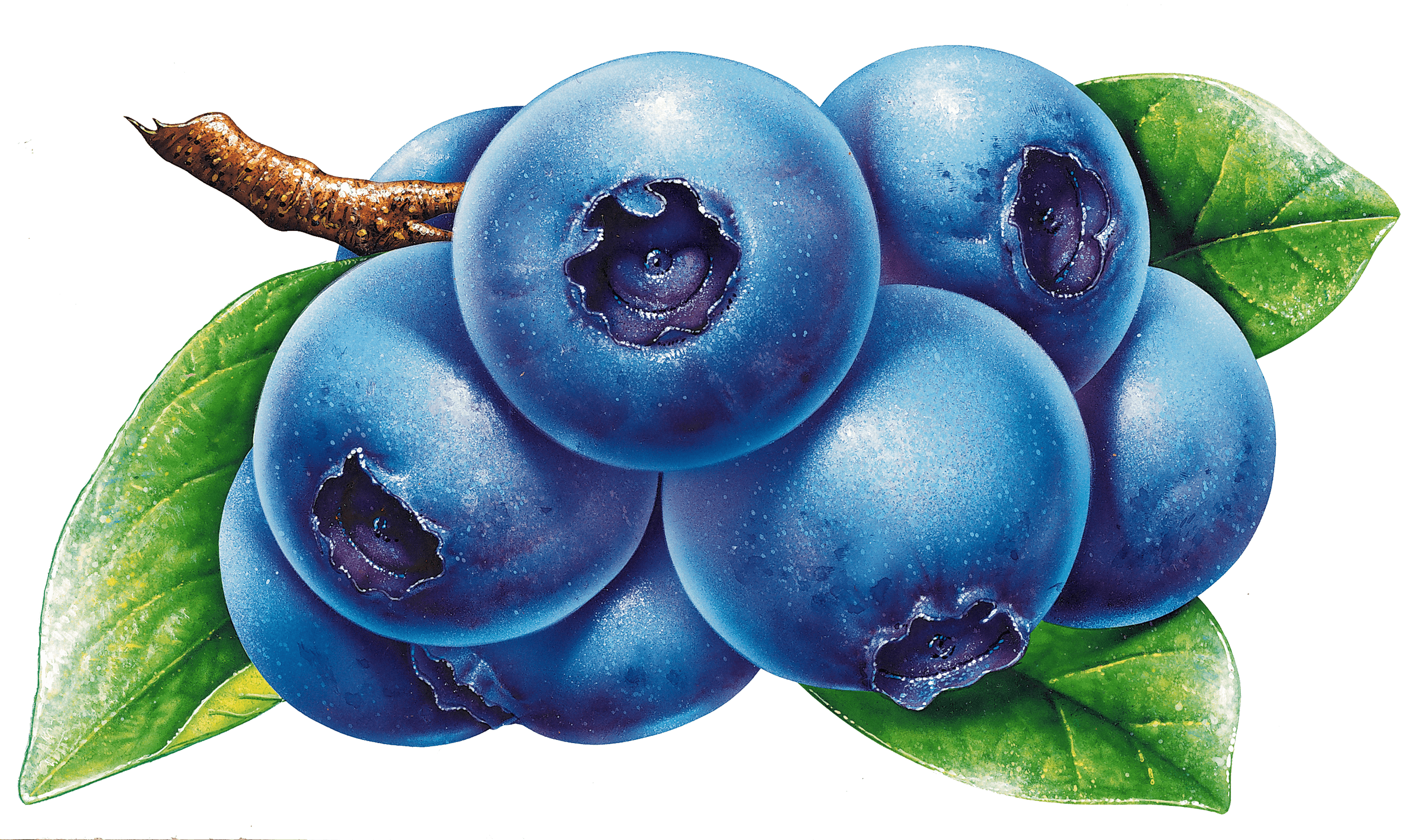 Blueberries clipart blueberry plant, Blueberries blueberry ...