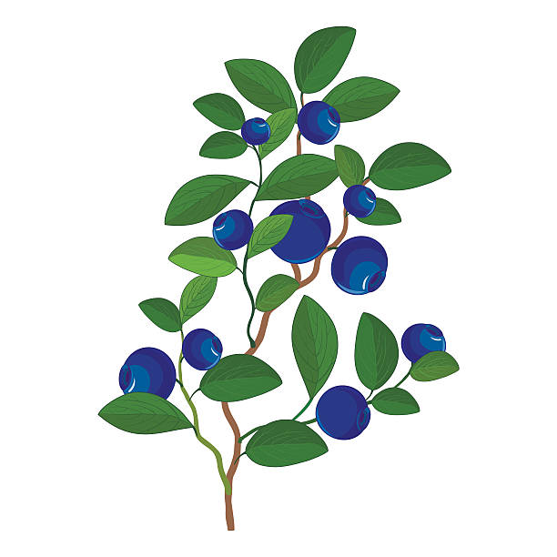 Blueberries clipart blueberry plant. Bush drawing free download