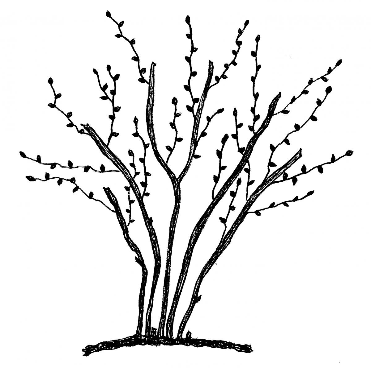 Pruning blueberry in the. Bushes clipart drawing