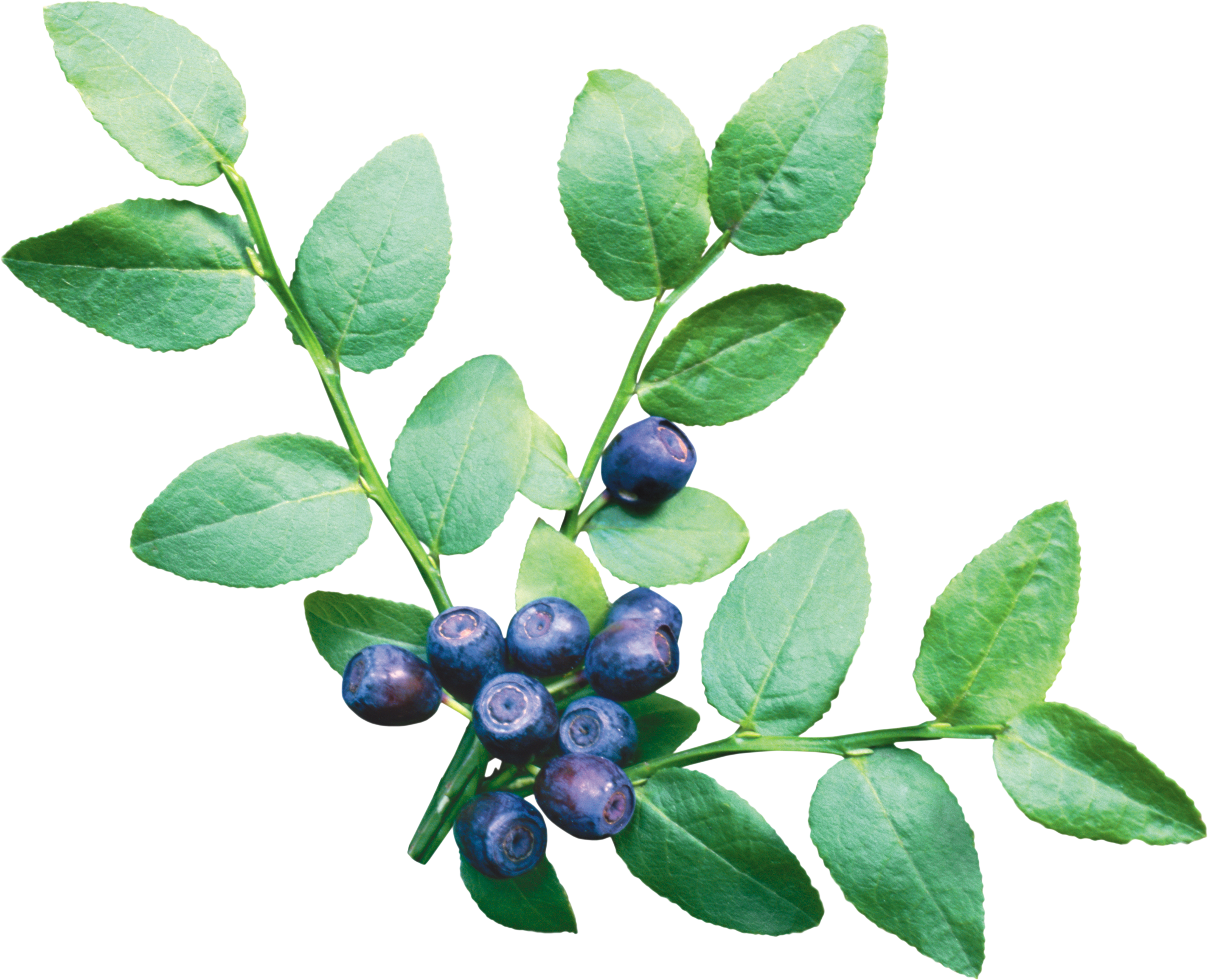 Blueberries png . Bushes clipart blueberry