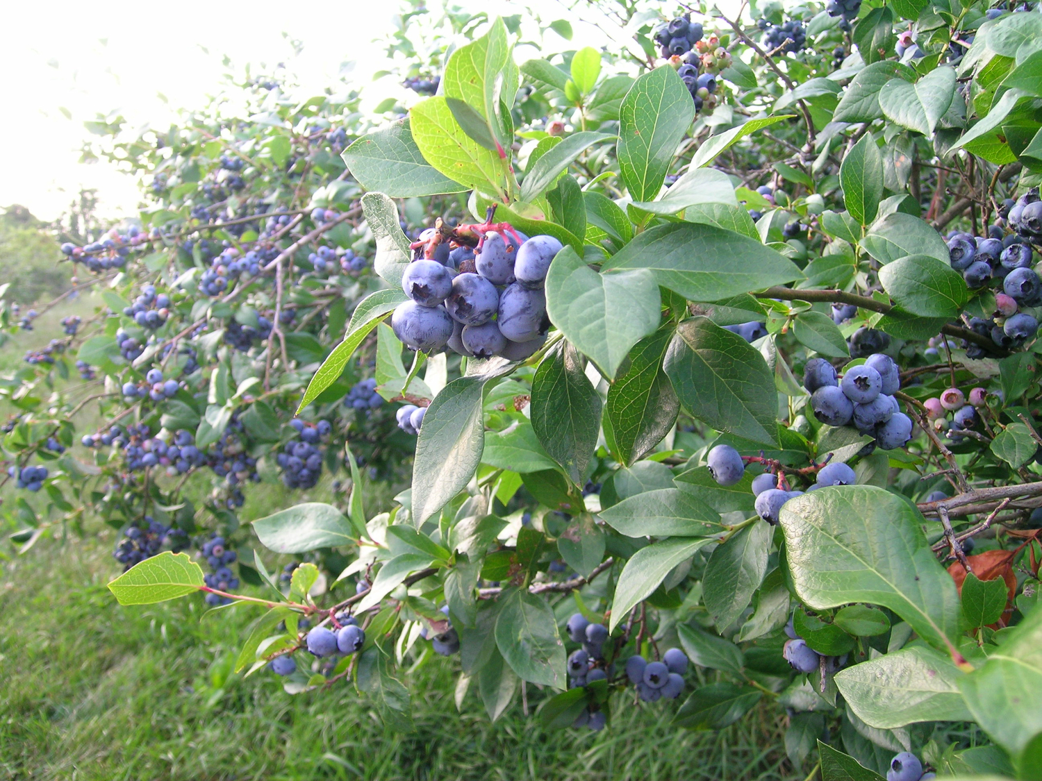 Berries clipart berry bush. Treworgy family orchards a