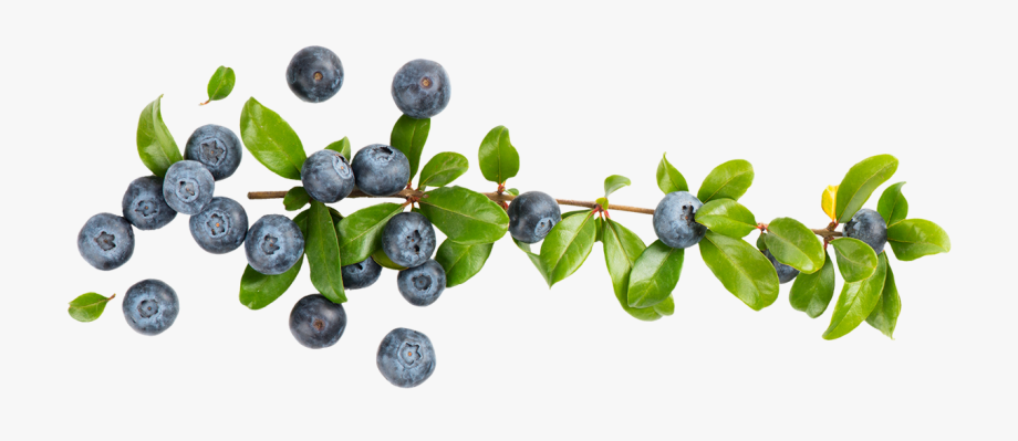 Blueberry png cliparts cartoons. Blueberries clipart branch