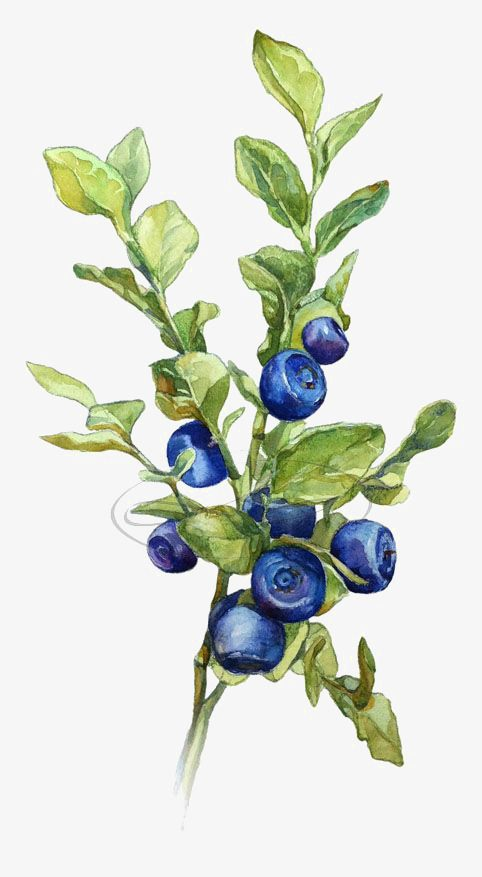 Blueberries clipart branch. Watercolor leaves creative blade