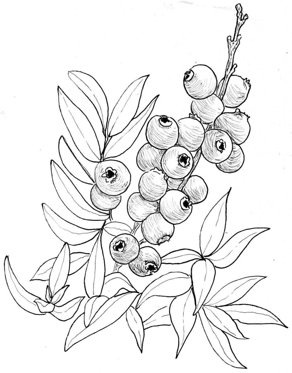 Image result for drawings. Blueberry clipart drawn