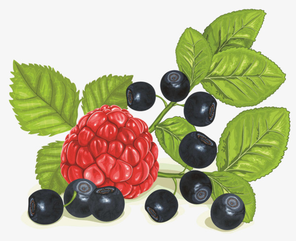 Blueberries clipart color. Blueberry raspberry of lead