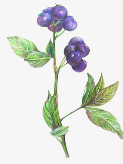 Blueberry of lead nice. Blueberries clipart color