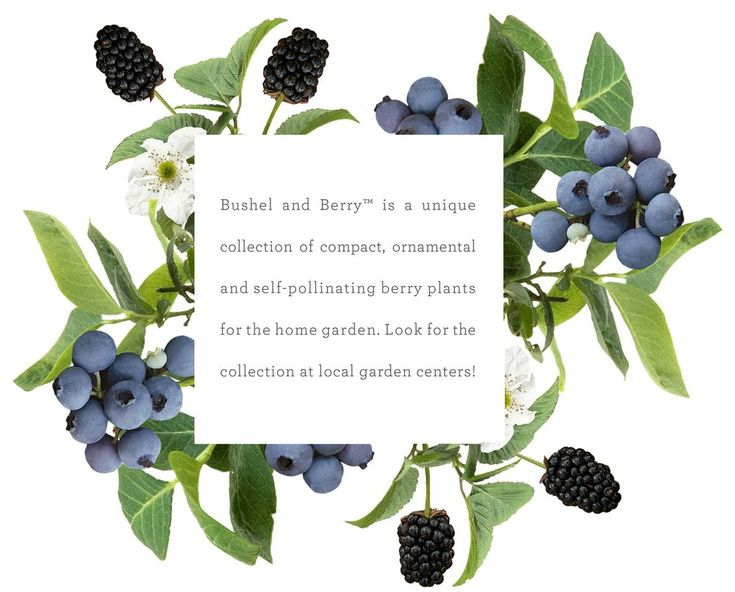 best berries on. Blueberries clipart elderberry