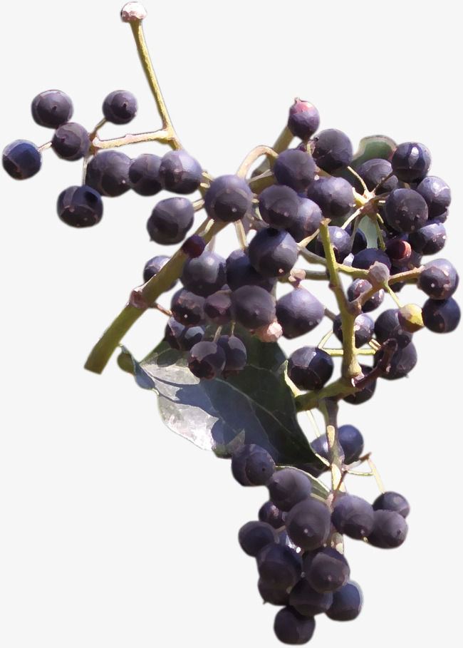 Beautiful hand painted fruit. Blueberry clipart elderberry