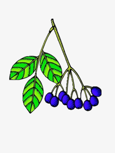 Colorful blueberries fruit leaf. Blueberry clipart elderberry