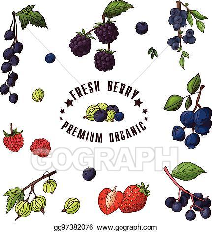 Eps illustration hand drawn. Blueberries clipart elderberry