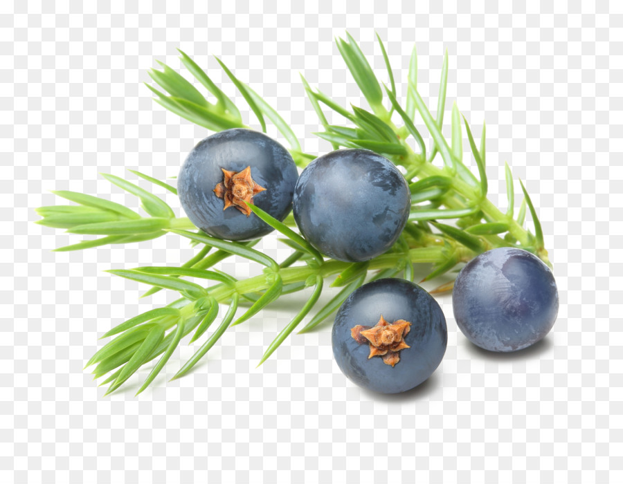 Blueberry clipart juniper berry. Gin essential oil common
