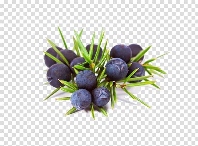 Gin common essential oil. Blueberries clipart juniper berry