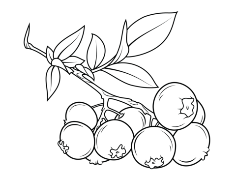Branch coloring page from. Blueberry clipart outline