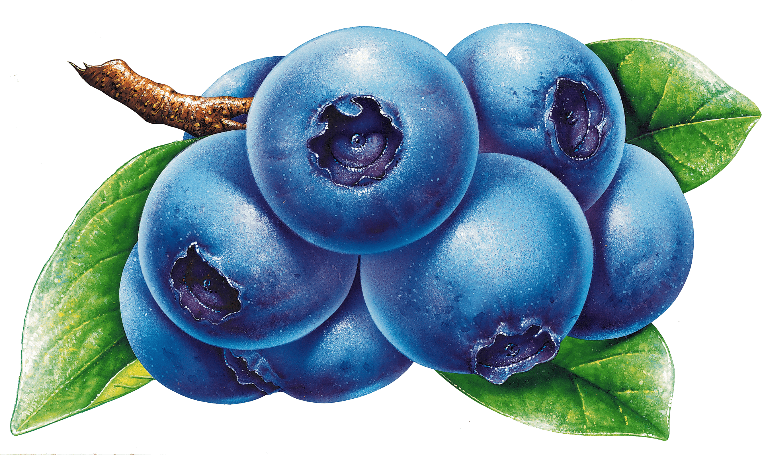 Hd drawing free unlimited. Blueberries clipart sketch