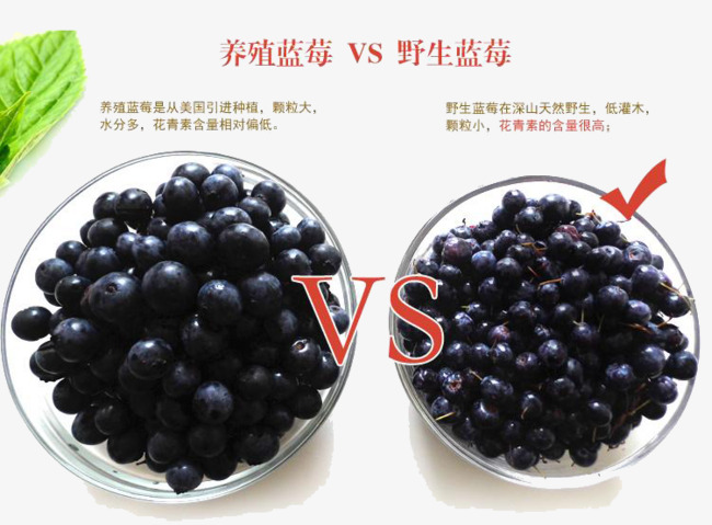 Blueberry picture breeding wild. Blueberries clipart two