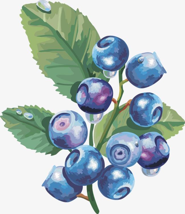 Blueberries clipart vector. Lantern fruit blueberry cape