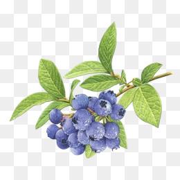 Blueberry png vectors psd. Blueberries clipart watercolor